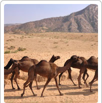 Camel Research Centre Bikaner