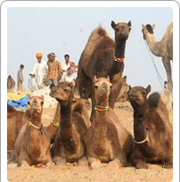 Pushkar Camel Fair Rajasthan, pushkar Travel Guide
