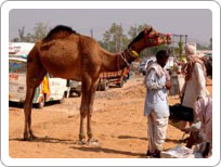 Pushkar Fairs and festival of Rajasthan